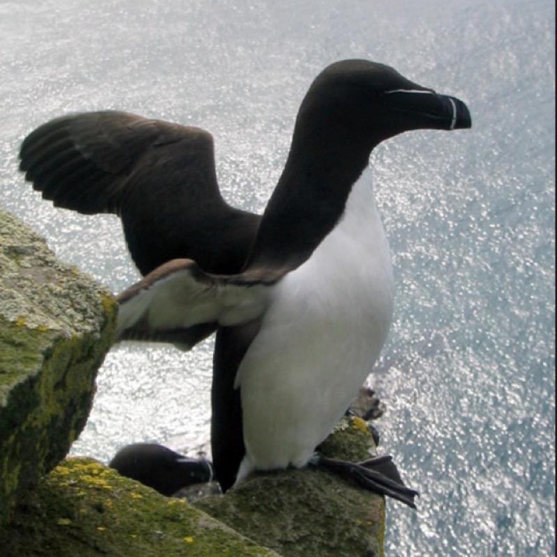 pingouinevolante
