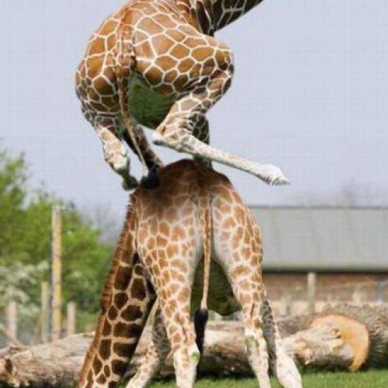 Disciple_Girafe