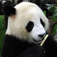 Panda666
